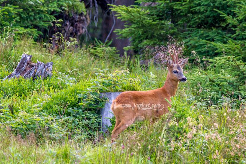 sommer-jagd-2016-5